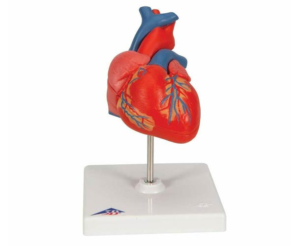 Anatomical World Wide 3B Scientific Classic Human Heart Anatomy Model