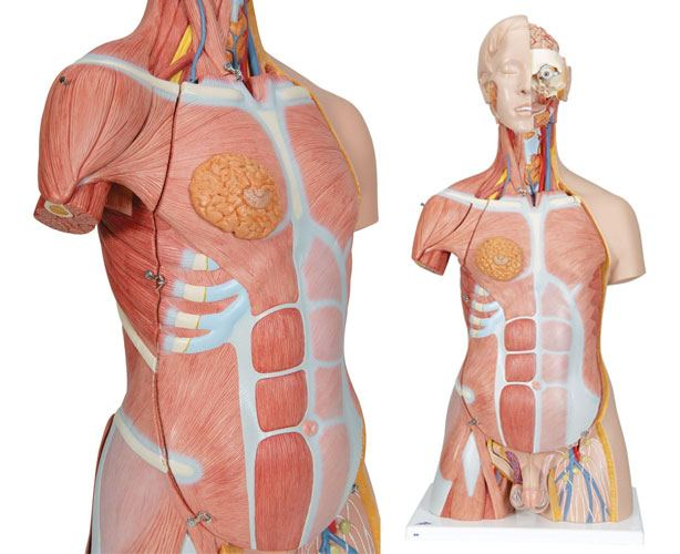 Dual Sex Muscle Torso Anatomy Model, Deluxe, 31 Parts