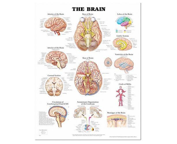 Anatomical World Wide The Brain Anatomical Chart