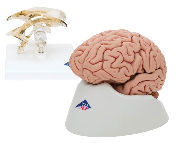 Anatomical World Wide 3B Scientific Brain and Ventricle Anatomy Model Set