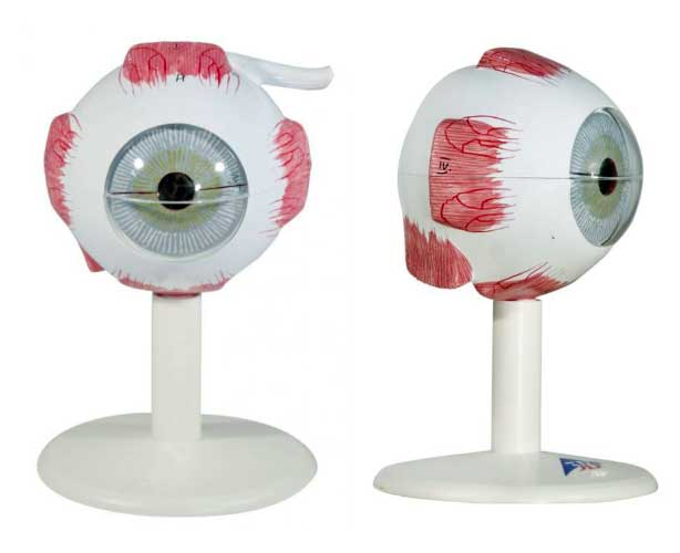 Anatomical World Wide Human Eye Replica Model, 3 Times Full-Size (6 Parts)