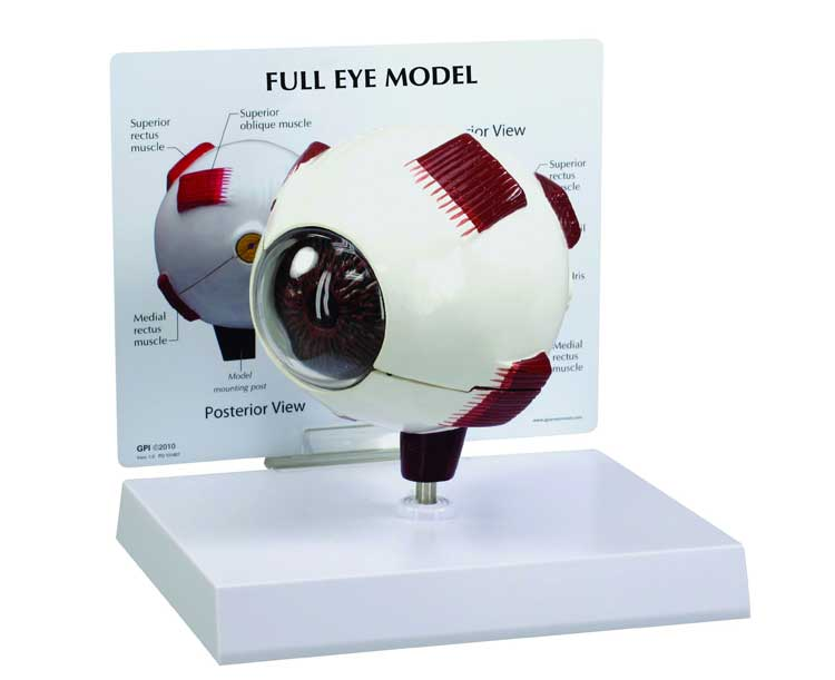 Anatomical World Wide Full Eye Anatomy Model