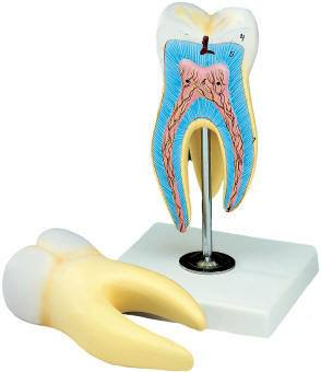 Anatomical World Wide Giant Molar Model
