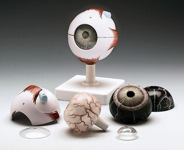 Anatomical World Wide Human Eye Model