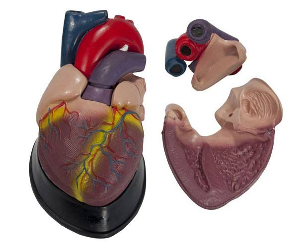 Anatomical World Wide Budget Jumbo Heart Model