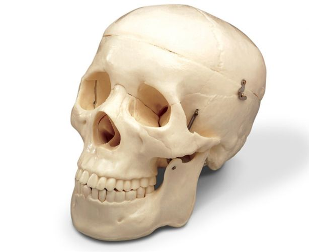 Anatomical World Wide Budget Life-Size Skull Model