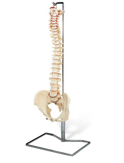 Anatomical World Wide Life Size Spine Model with Stand