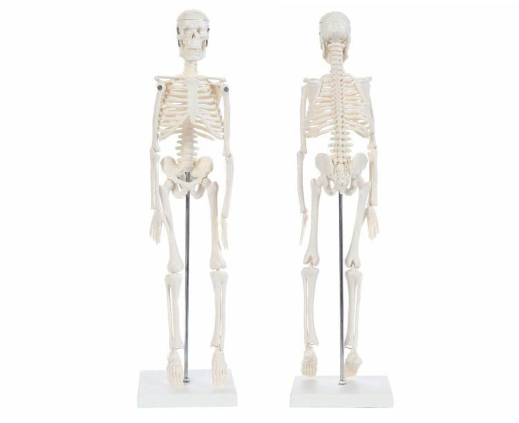 Anatomical World Wide Anatomy Lab Essential Miniature Skeleton with Stand