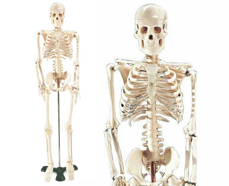 Anatomical World Wide Mr. Thrifty Model Skeleton