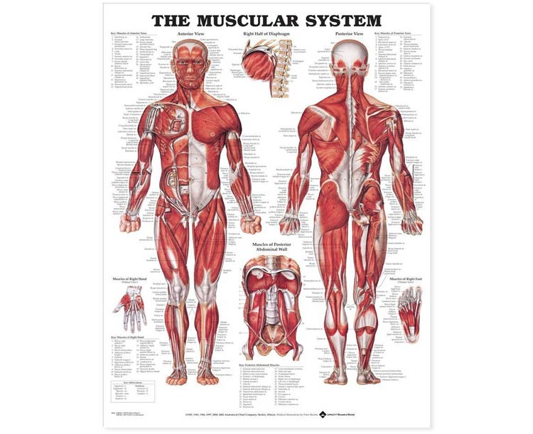 Anatomical World Wide The Muscular System Giant Chart