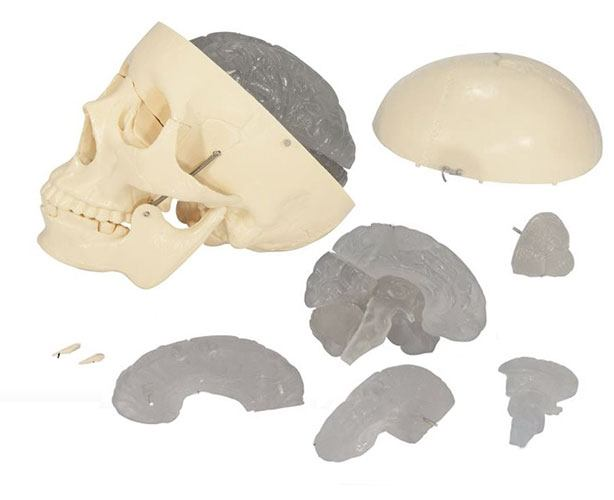 Anatomical World Wide Budget Skull With 8-part Brain Model