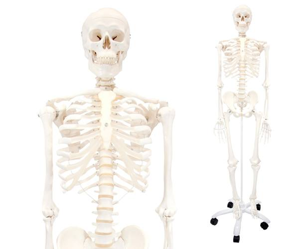 Classic Stan Human Skeleton Anatomy Model