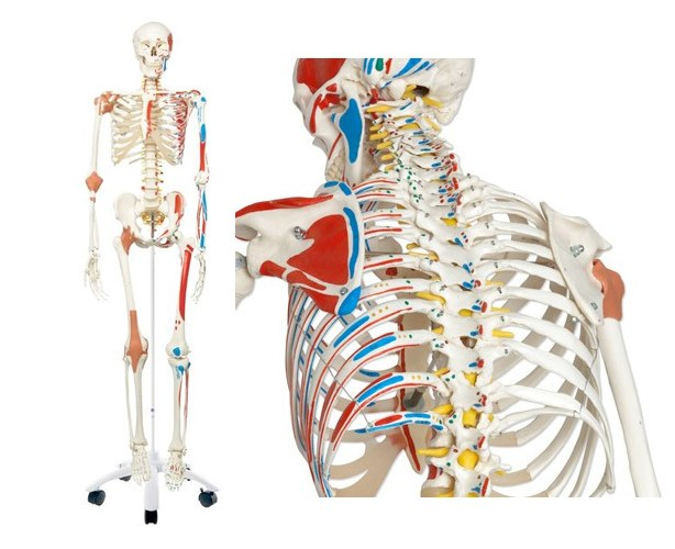 Anatomical World Wide Mr. Superskeleton Model Skeleton